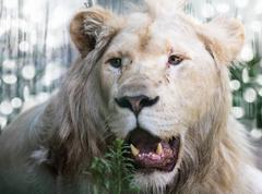 Portrait great white lion Stock Photos