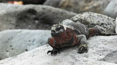 A marine iguana snorts water from its nostrils on isla espanola in the galapagos Stock Footage