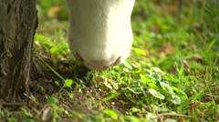 Cow mouth chewing grass - stock footage