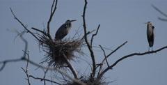 Hatchlings of Blue Herons nesting - stock footage