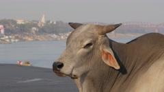 Bull on ghat,Varanasi,India - stock footage