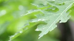 Rain Dropping On The Papaya leaf 2 Stock Footage