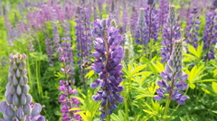 Honey bee on a field of lavender flowers Stock Footage