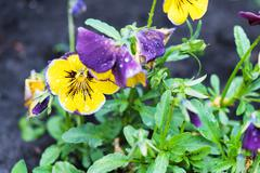 Close up photo of yellow and purple viola tricolor pansy flowers in the garde - stock photo