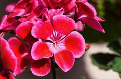 Close up photo of beautiful carnation red and pink flowers. Stock Photos