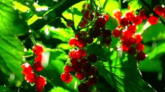 Back lit red currant bush in the rain at night. Super slow motion close up shot - stock footage