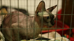 Frozen purebred hairless cat sitting in cage in animal shelter, Sphynx breed Stock Footage
