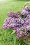 Branches of flowering purple lilac syringa Stock Photos