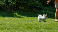 Pomeranian spitz plays with the girl on the lawn. runs and jumps Stock Footage