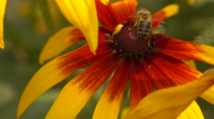 Honeybee crawling on yellow coneflower and flying away. Super slow motion macro Stock Footage
