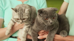 Guy and girl holding hands on the Scottish Fold cat and gray British cat Stock Footage