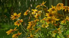 Yellow coneflowers and falling drops of water. Super slow motion video, 250 fps Stock Footage