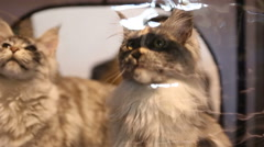 Reception at veterinary clinic, cute Maine Coon cat sitting in pet house Stock Footage