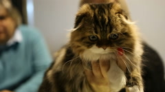 Fluffy flap-eared Highland Fold kitten sitting in owner's hand, cat exhibition Stock Footage