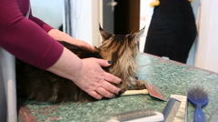 Fluffy Maine Coon lying on table in cat grooming salon. Love for animals Stock Footage
