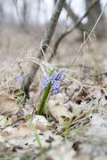 Wild growing blue snowdrop, blue early spring flower - stock photo