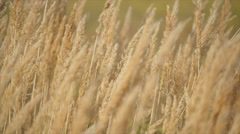 Dry reed close-up slow motion Stock Footage