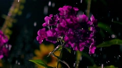 Purple flowers and falling drops of water at night. Super slow motion video, 500 Stock Footage