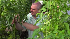 Gardener at tomato plants in greenhouse Stock Footage
