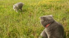 Scottish Fold cat and gray British cat walking on grass Stock Footage