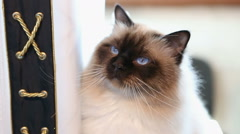 Beautiful blue-eyed Birman cat playing with toy, relaxed pet sitting on table Stock Footage