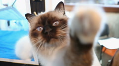 Curious Birman kitten playing with toy and touching camera, cute cat having fun Stock Footage