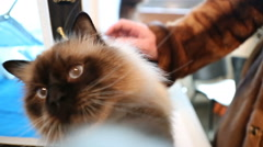 Funny Birman cat touching camera, playing with toy during pet exhibition Stock Footage