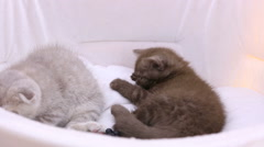 Little fluffy kittens lying in pet house, cats playing during pet exhibition Stock Footage
