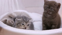 Purebred kitties lying in pet house, British shorthair cat looking into camera Stock Footage