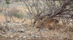 African Dik Dik - Mating Pair 01 Stock Footage