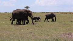 A Family Of African Elephants Walking Across the Plains Stock Footage