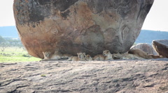Large Group of Lion Cubs Lounge in the Shader Under a Boulder Stock Footage