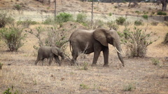 Mother And Baby African Elephants Walking the Plain Stock Footage