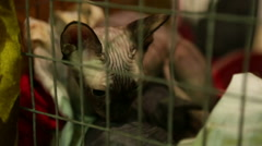 Cat mother protective of her kitty lying in iron cage at animal shelter, Sphynx Stock Footage