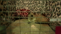Pleased short-haired cat sleeping in cage, purebred pets exhibition, animals Stock Footage