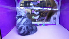 Funny Highland Fold kitten playing with pet toy, cat exhibition, expensive breed Stock Footage