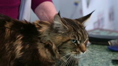 Trembling Maine Coon cat lying on table in veterinary clinic, health problems Stock Footage