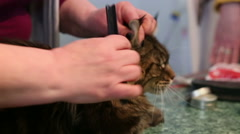 Stylist combing Maine Coon coat, cat patiently lying on table, grooming salon Stock Footage