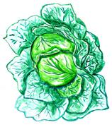 Green Cabbage Watercolor - stock illustration