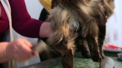 Displeased Maine Coon kitty tolerating pet hair stylist combing his coat Stock Footage