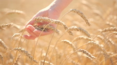 Girl touches ripe ears of corn in a wheat field. agriculture concept Stock Footage