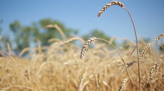 Wheat field. stalk close-up. Stock Footage