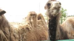 Two camels in the zoo. Stock Footage