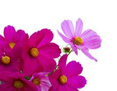 Cosmos pink flowers Stock Photos