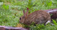 Wild Rabbit feeding on green vegetation, midshot profile view Stock Footage