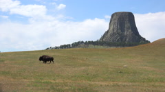 4K American West Scenic Of Bison Walking At Devils Tower National Monument Stock Footage
