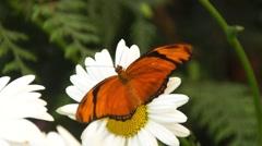 Julia butterfly in slow motion Stock Footage