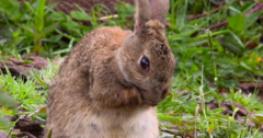 Wild Rabbit licking his paws and rubbing his face 2K Slo Mo Stock Footage