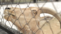 The head of a young goat close-up. Stock Footage