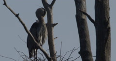 Natural habitat of the Canadian Blue Heron - Nests Wetland in Springtime Stock Footage